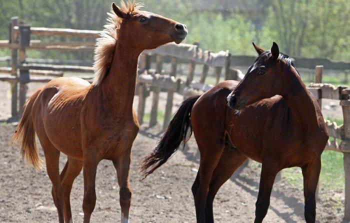 Молодняк рабочих лошадей