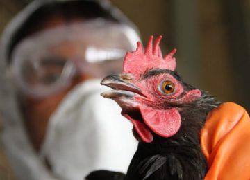 Осмотр домашней птицы ветеринаром