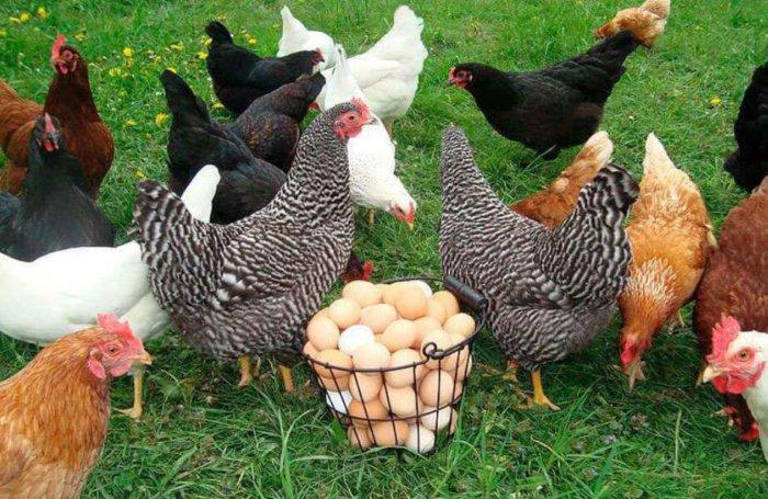 Домашние куры с яйцами