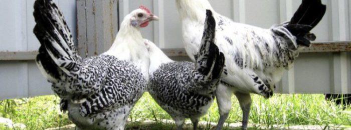 Представители породы Остфризская чайка