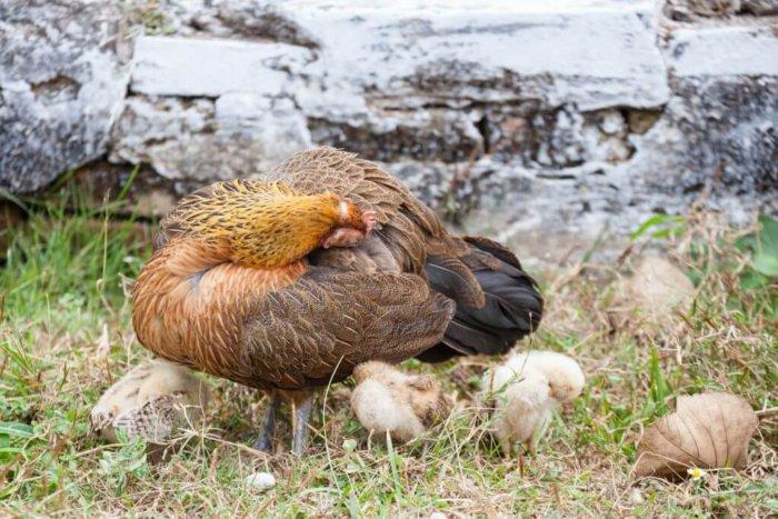 Перьевой клещ у кур