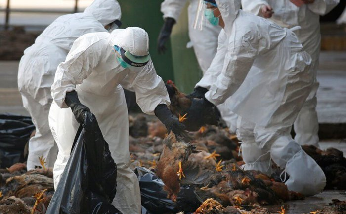 Утилизация куриного поголовья