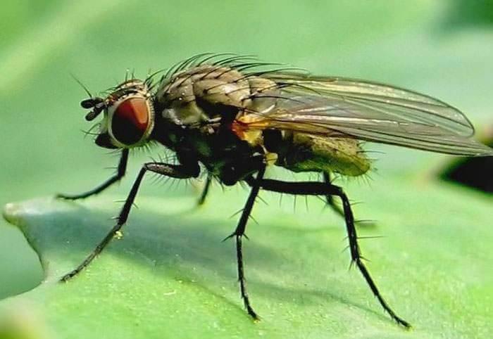Капустные мухи откладывают на стеблях рассады яйца