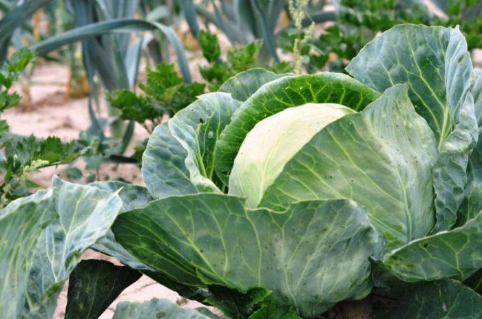 Головка капусты