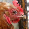 Больная курица