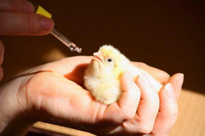 Вакцинация цыпленка