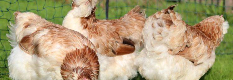 Французская порода кур фавероль