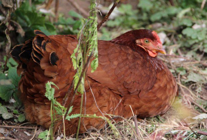 Внешность курицы породы Кубанская красная