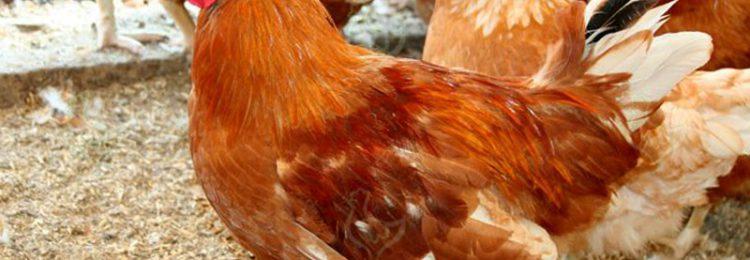 Красная белохвостая порода