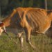 Инфекционные и незаразные заболевания крупного рогатого скота