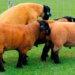 Овцы суффолк