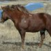 Порода лошадей русский тяжеловоз