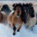 Порода лошадей якутская - происхождение, описание, использование