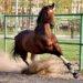 Немецкие породы лошадей: обзор, характеристики